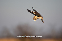 01113-009.07 Short-eared Owl (Asio flammeus) in flight, Prairie Ridge State Natural Area, Marion Co., IL