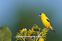 01640-03005 American Goldfinch male (Carduelis tristis) on Common Sunflower (Helianthus annuus)   IL
