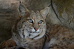 bobcat in den, FB-S169, 4x6 postcards back small photo, crop to vertical
