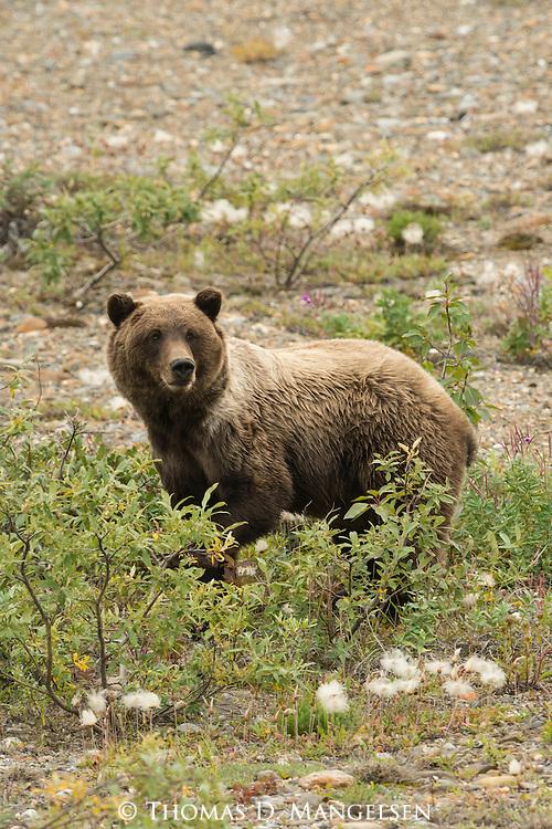 A grizzly bear Denali National Park, Alaska.