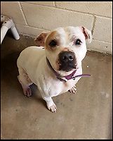 BNPS.co.uk (01202 558833)<br /> Pic:  RSPCA/BNPS<br /> <br /> Lucie, the Staffordshire bull terrier as she is now.<br /> <br /> A pet owner has been found guilty of causing 'unnecessary suffering' to his two dogs after allowing them to become obese.<br /> <br /> Staffordshire bull terriers Brucie and Lucy were so overweight they were 'barrel shaped' and buckled under their sheer size.<br /> <br /> Brucie's weight ballooned from a healthy 21kg to 33.5kg (over 5st, 74lbs) after owner Martin Harrison, 58, over-fed him over a three and a half year period.<br /> <br /> Lucy's weight shot up to 29kg (4.6st, 64lbs), classifying her as 'overweight', and she had a chronic ear condition which was not treated, a court heard.