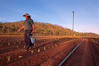 Oscar Bugno (front) and Bruno Fantin Hand Planting Seedlings,  Bugno's Farm, Dimbulah, 2003.