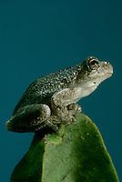 Gray tree frog, perches on plant and looks skyward, Misouri USA