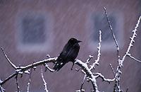 Rabenkrähe, Aaskrähe, Krähe, bei Schnee im Winter in der Stadt, Corvus corone corone, carrion crow