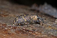 Großer Brauner Rüsselkäfer, Fichtenrüsselkäfer, Fichten-Rüsselkäfer, Hylobius abietis, large pine weevil, Le Grand charançon du pin