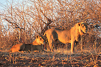 A young male lion and his lioness survey the surrounding bush in the early morning light.  Taken near the Imbabala Lodge in Zambezi National Park, Zombabwe.