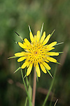 The flower head of the Salsify plant in western Montana