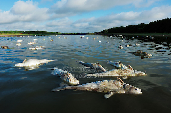 Fish Carcasses In Lake During Drought Rolf Nussbaumer
