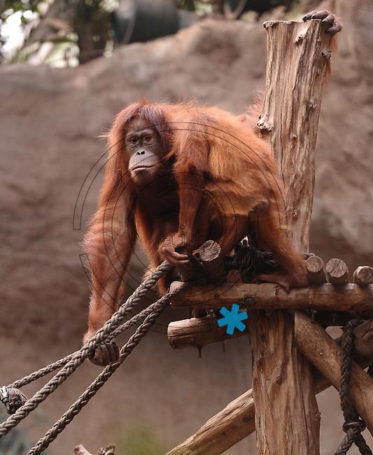 Pongoland Zoo Leipzig - MPI - im Bild: Oran-Utan - Kila+Maia (baby).  Foto: Norman Rembarz ..