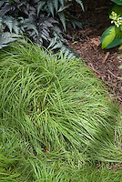 Carex caryophyllea Beatlemania, variegated ornamental grass perennial green leaves with yellow edge, with Japanese painted fern Athyrium nipponicum var. pictum and hosta in shade garden mixed plantings