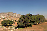 Samaria, Kermes Oaks (Quercus Caliprinos) in Yanun