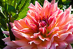 Dahlia, Swan Island Dahlias, Oregon