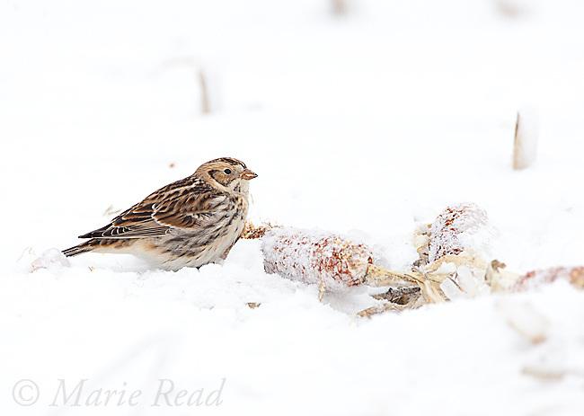 Lapland Longspur (Calcarius lapponicus), non-breeding plumage, feeding on corncob on snow-covered ground, New York, USA