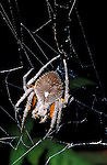 Eriophora spider, female, on web, Trinidad.Trinidad....