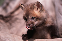 A young fox cub licks its lips in eager anticipation of eating.