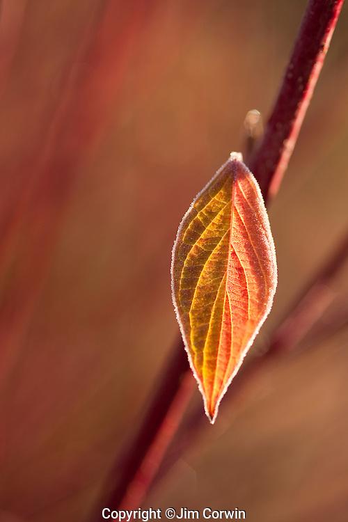 Dogwood leaf sunrise with frost along edges