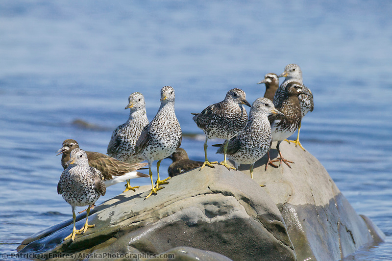 Surfbirds and Black Turnstone shorebirds, Channel Island, Montague straits, Prince William Sound, Alaska