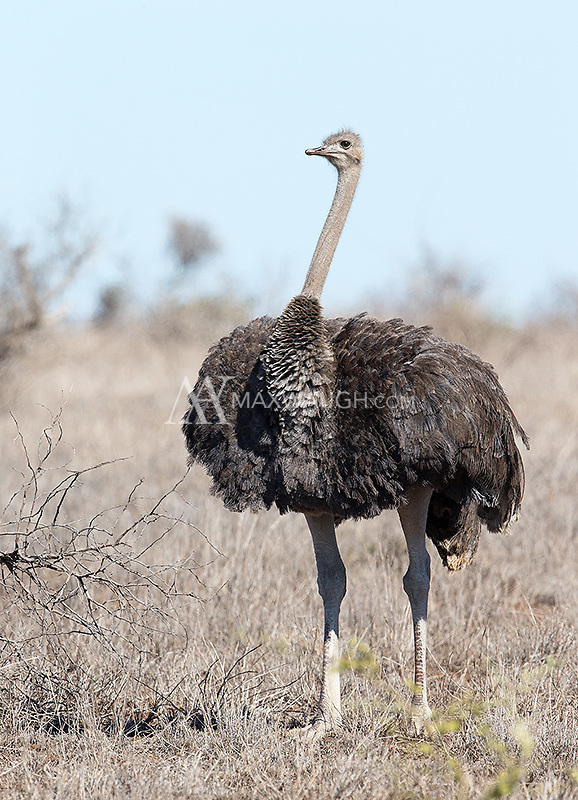 The world's largest bird, ostriches are often seen in the region north of Satara camp in Kruger.