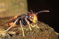 Between two attacks, a hornet lands near a hive. ///Entre deux attaque, un frelon se pose près d'une ruche.