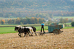 Amishman and four work horse team preparing to spread manure.