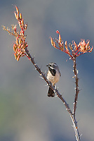 578670039 a wild male black-throated sparrow amphispiza bilineata perches on a flowering ocotillo foqueria splendens in the madera grasslands near madera canyon pima county arizona united states