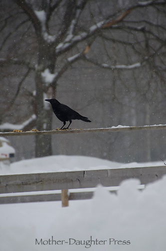 crow standing on fence in snow, Maine, USA