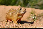 Sparky the Utah Prairie Dog, Cynomys parvidens, Red Canyon, Dixie National Forest, Utah
