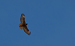 A photograph taken of a Red Tail Hawk during the Eagles & Agriculture event on Friday, Jan. 26, 2018 in the Carson Valley.