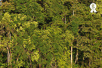 Rain forest trees on the Kinabatangan River (Licence this image exclusively with Getty: http://www.gettyimages.com/detail/91934867 )