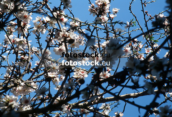white almond blossoms against deep blue sky in Majorca<br /> <br /> almendro en flor con cielo azul en Mallorca <br /> <br /> wei&szlig;e Mandelbl&uuml;ten gegen tief blauen Himmel auf Mallorca<br /> <br /> bot.: Prunus dulcis / Prunus amygdalus<br /> <br /> 3533 x 2402 px<br /> 150 dpi: 59,83 x 40,67 cm<br /> 300 dpi: 29,91 x 20,34 cm<br /> Original: 35 mm slide transparancy