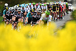 The peleton in action during Stage 1 of the Tour de Yorkshire 2018 running 182km from Beverley to Doncaster, England. 3rd MAy 2018.<br /> Picture: ASO/Alex Broadway | Cyclefile<br /> <br /> <br /> All photos usage must carry mandatory copyright credit (&copy; Cyclefile | ASO/Alex Broadway)