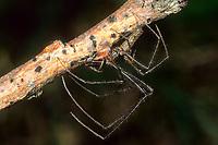 Dunkle Streckerspinne, Dunkele Streckerspinne, Tetragnatha nigrita, Streckerspinnen, Tetragnathidae