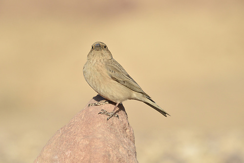 Sinai Rosefinch - Carpodacus synoicus<br /> female