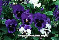 63821-070.19 Pansies (Viola sp.)  Marion Co.  IL