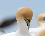 NZ 16 Gannets Napier