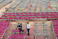 A worker collects dried incese at the Meizhengxiang Incense Factory near Xiamen, Fujian Province, China. As religous life increasingly becomes an important part of China, businesses related to religion such as Buddhism and Daoism have flourished. The factories have seen its sales quadruple since its establishment in 1996, reaching euro 5 million in 2003. The factory now employs over 200 workers, mostly migrants from Sichuan and Jiangxi Province..17-MAR-04