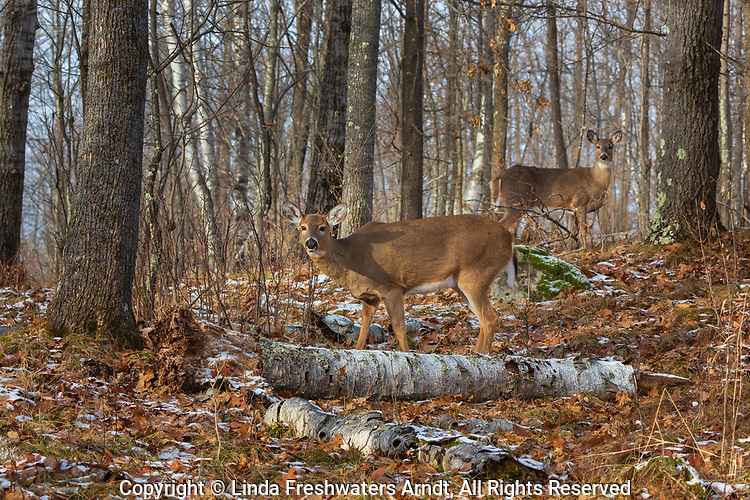 White-tailed doe and fawn deep within the northern forest.