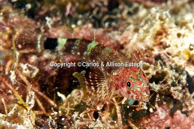 Enneanectes boehlkei, Roughhead triplefin, Florida Keys