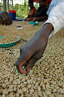 Sorters remove beans that could foul the flavor of the mix at a coffee washing station near Butare/Huye Rwanda. With the help of the USAID funded project, SPREAD, the coffee business has been gaining ground in Rwanda where the quality and market price earned by farmers across the country has been increasing annually. Last year, the country exported, according to Tim Schilling director of SPREAD, gourmet coffee exports increased from 2,000 tons in 2006 to 3,000 in 2007, with the overall quality doubling each year. Rwanda exported 25,000 tons of coffee in total last year. In the US this coffee appears in Whole Foods Stores and Starbuck Coffee Houses among others. SPREAD not only trains farmers to increase coffee bean quality but tries to more directly connect farmers to roasters to produce fair trade coffee. (Rick D'Elia)