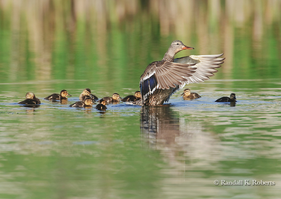 A female mallard (Anas platyrynchos) watches over her ducklings in a pond in northern Colorado.