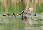 A female mallard (Anas platyrynchos) watches over her ducklings in a pond in northern Colorado.