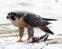 Adult peregrine falcon. Well I'm stuffed.