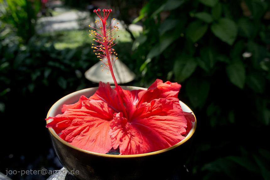 Hibiscus  flower, city Hoi An Vietnam