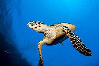 Hawksbill Sea Turtle, Eretmochelys imbricata, Elphinstone, Red Sea, Egypt