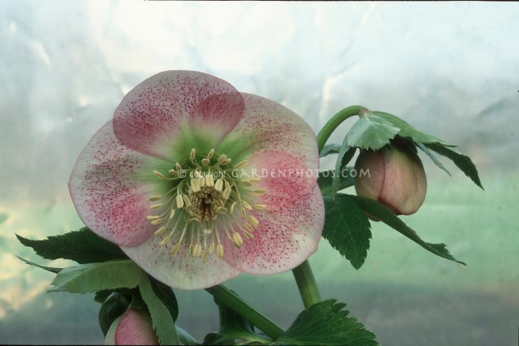 Helleborus hybridus spotted, pink