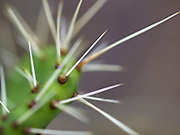 A close-up of the white thorns of a green cactus, Pu'u Wa'awa'a Ahupua'a, Big Island.