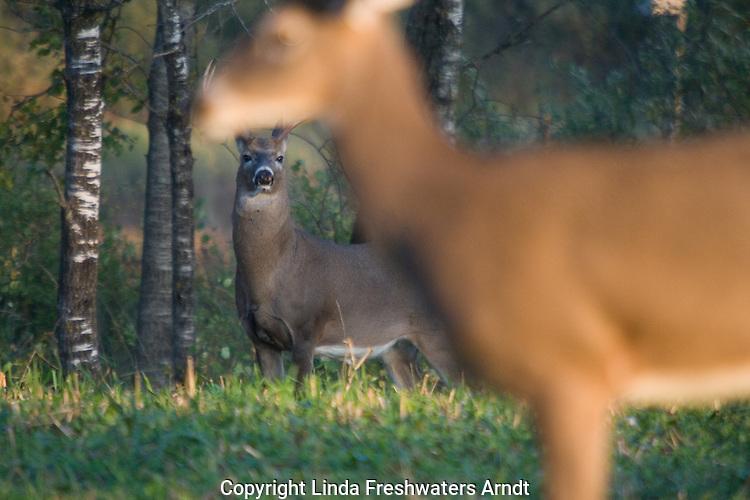 White-tailed buck(Odocoileus virginianus) watching a doe