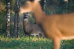 White-tailed buck(Odocoileus virginianus) watching a doe