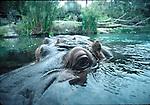 Hippopotamus on surface at San Diego Zoo
