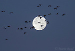 Snow Geese (Chen caerulescens) flock in flight with a full moon, Bosque Del Apache National Wildlife Refuge, New Mexico, USA